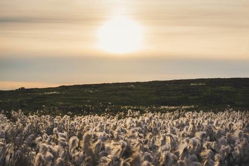 Champs de coton avec coucher de soleil