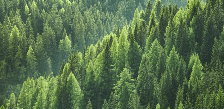 forêt pins
