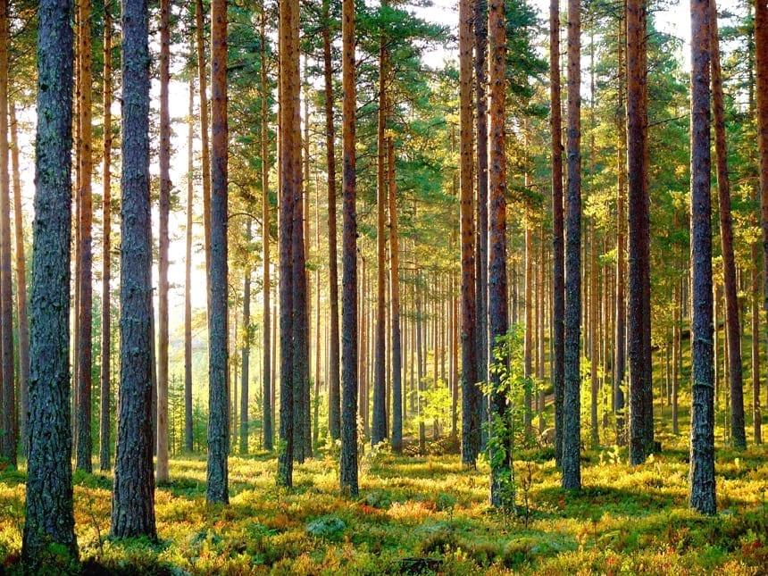 Forêt bois de pin Finlandelande